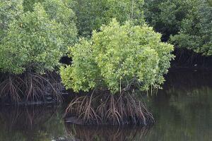 Мангры - деревья, растущие  в воде. Чем они интересны?
