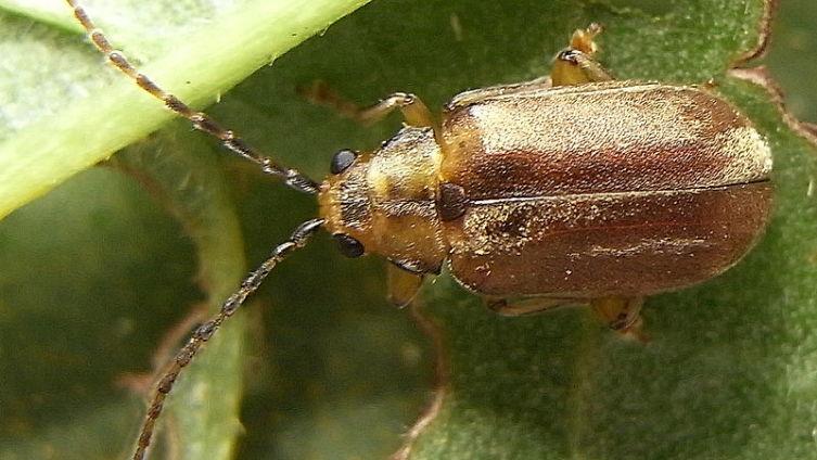 Как победить калинового жука?