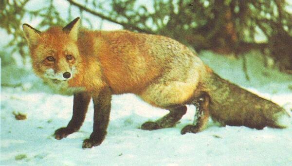 Барсук и лисица секс