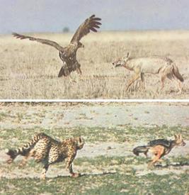 Шакал атакует грифа и удирает от гепарда.