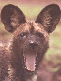 Гиеновая собака в фас...