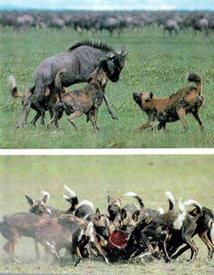 Удачная охота гиеновых собак.