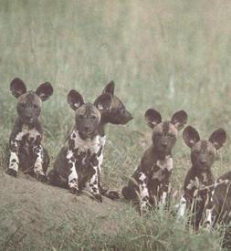 Щенки гиеновых собак.