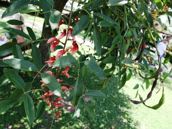 Возможно дерево уже отцвело, вон сколько стручков на нем и старых и нового урожая