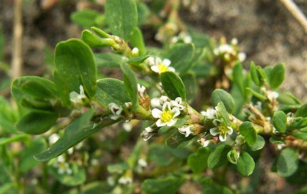 Чем интересно былинное растение трава-мурава?