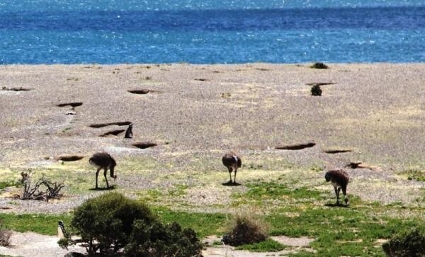 На берегу океана рядом с пингвинами пасутся нанду
