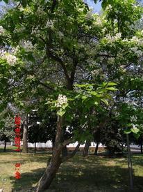 Цветение катальпы, Кривой Рог