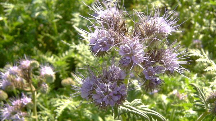 Фацелия - пчелиная трава. Чем она привлекательна?
