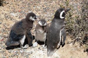 Путешествие в Аргентину. Пингвин, если ты птица, то почему не летаешь?
