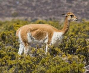 Путешествие в Аргентину. Гуанако и викуньи – это тоже ламы?