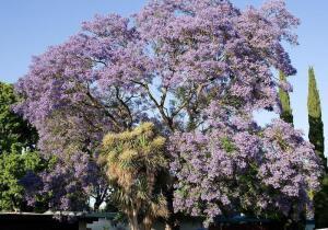 Жакаранда - фиалковое дерево. Чем оно привлекательно?