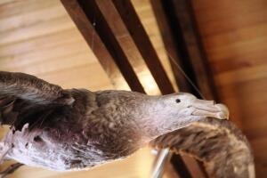 Путешествие в Чили. Как выглядит альбатрос?