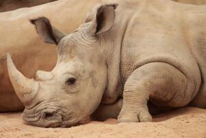 Как носорог умер от пьянства?