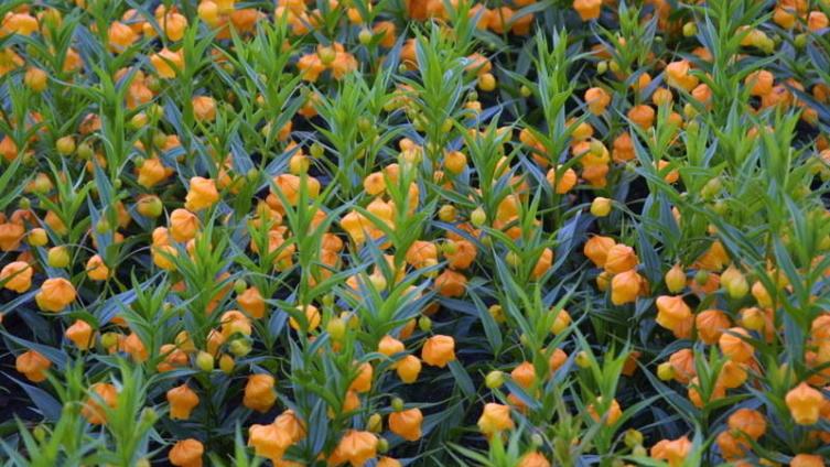 Золотой ландыш - сандерсония. Как её выращивать?
