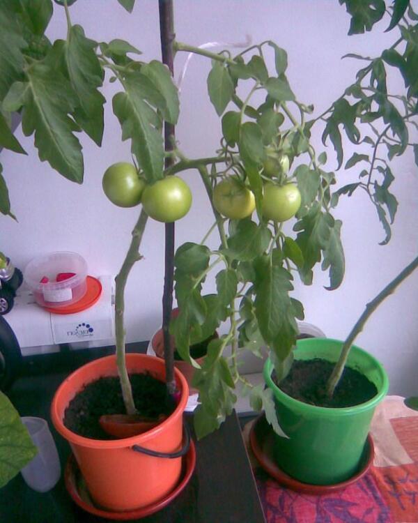 Наливаются первые плоды