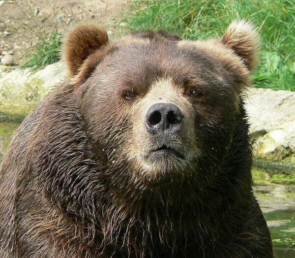 Медведь кадьяк.