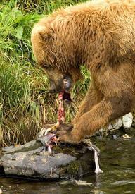 Медведь на рыбалке.
