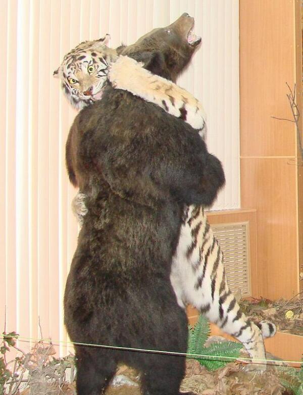Схватка медведя с тигром (экспозиция в Музее Владивостока).
