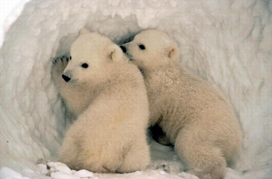 Кто в отряде хищных самый крупный? Белый медведь!