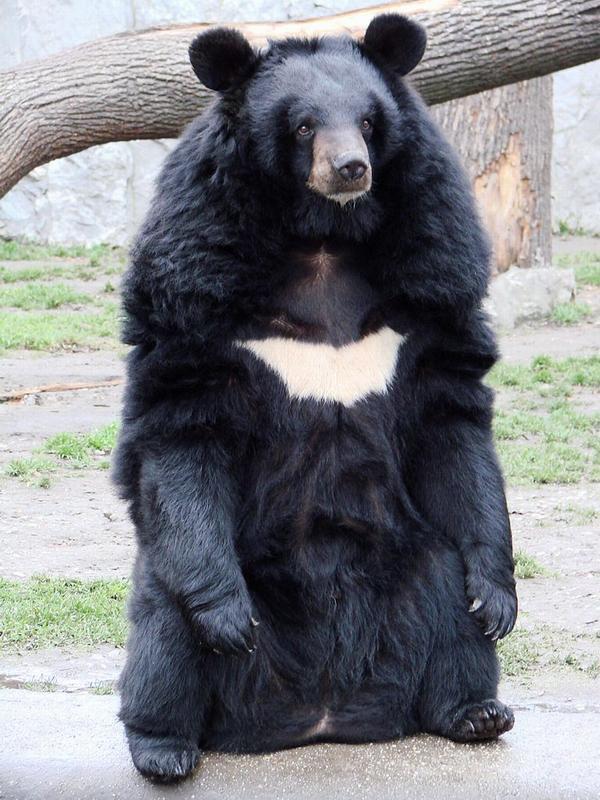 Гималайский (белогрудый) медведь