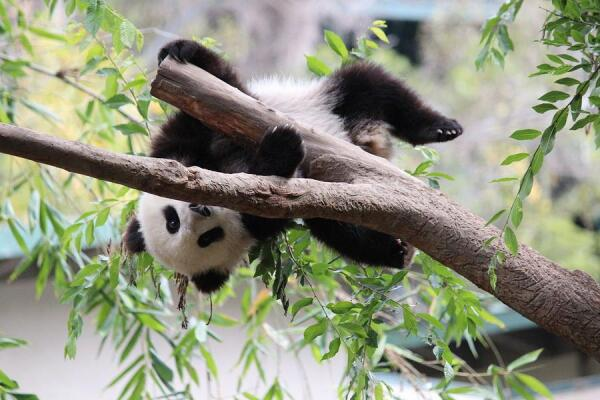 Маленькая большая панда