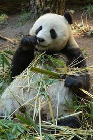 Большая панда за едой