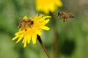 Есть ли будущее у пчёл?