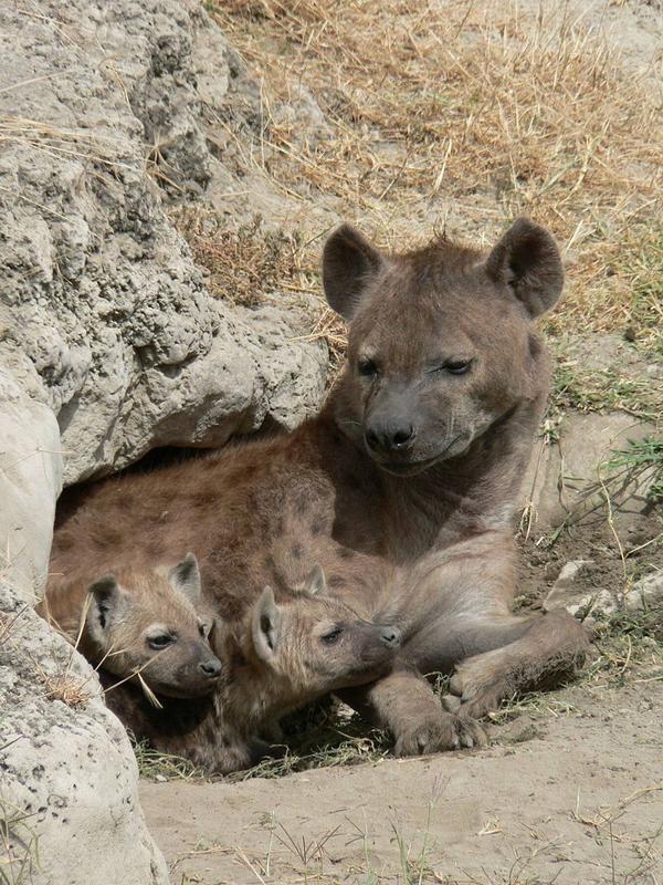 Пятнистая гиена с детёнышами.
