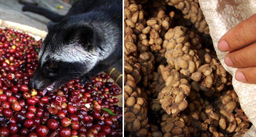 Первый и последний этап производства кофе «Копи Лювак»