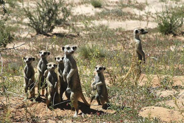 Семья сурикатов в пустыне Калахари