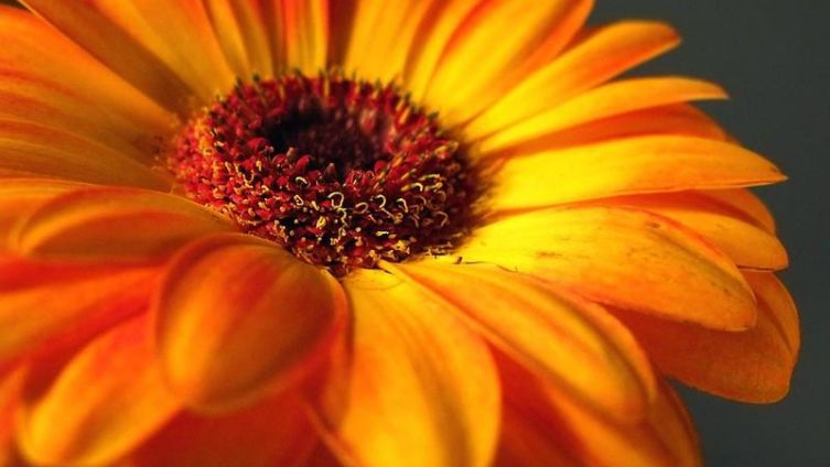 Цветок лета и тепла - гербера. Какую тайну она хранит?