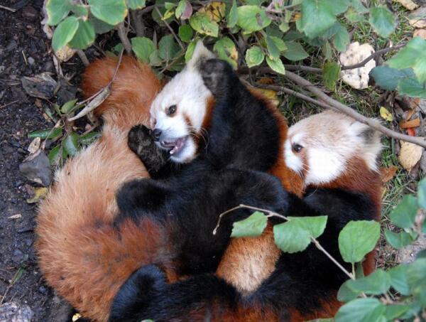 Детёныши малой панды играют