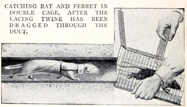 Хорёк загоняет крысу.