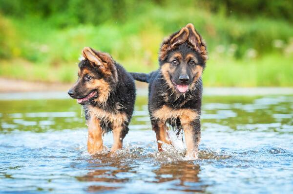 Как купить породистого щенка и не быть обманутым?