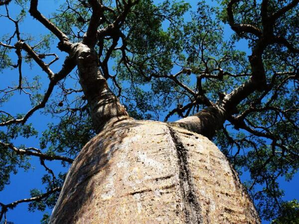 Баобаб – мать леса