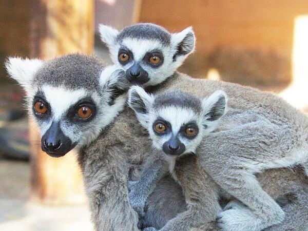Кольцехвостые лемуры – мамаша и ее двойняшки