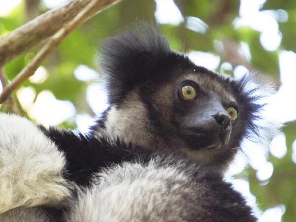Индри-индри – самый крупный лемур. В неволе не живет, вымирающий вид.