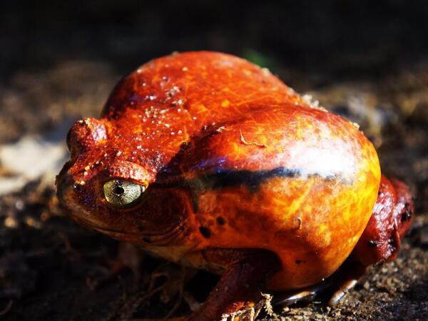 Лягушка-помидор, эндемик северо-востока Мадагаскара