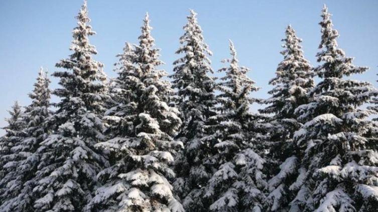 Надо ли укрывать хвойные растения на зиму?