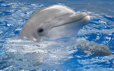 """Кто фотографировал, не знаю, взято из Интернета. Но очень красивый дельфин, самка, семейства """"Китовые"""". Сохранено в моём компьютере: D:\Настенька (Мама)\Дельфины. Фото, картины, изображения"""