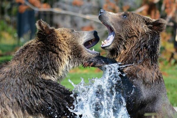 Толокнянка. Как появились медвежьи ушки?