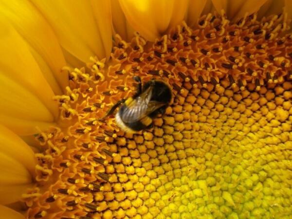 Пчела на подсолничнике