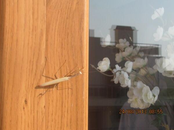 Бяла. Богомол просится в нам гости, усевшись на входную дверь квартиры