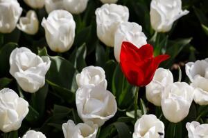 Откуда взялись тюльпаны?