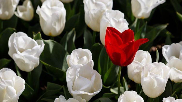 Фестиваль тюльпанов в Турции