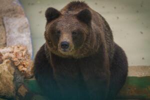 Почему медведь - символ России?