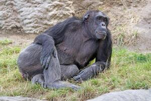 Зачем шимпанзе собирают камни?