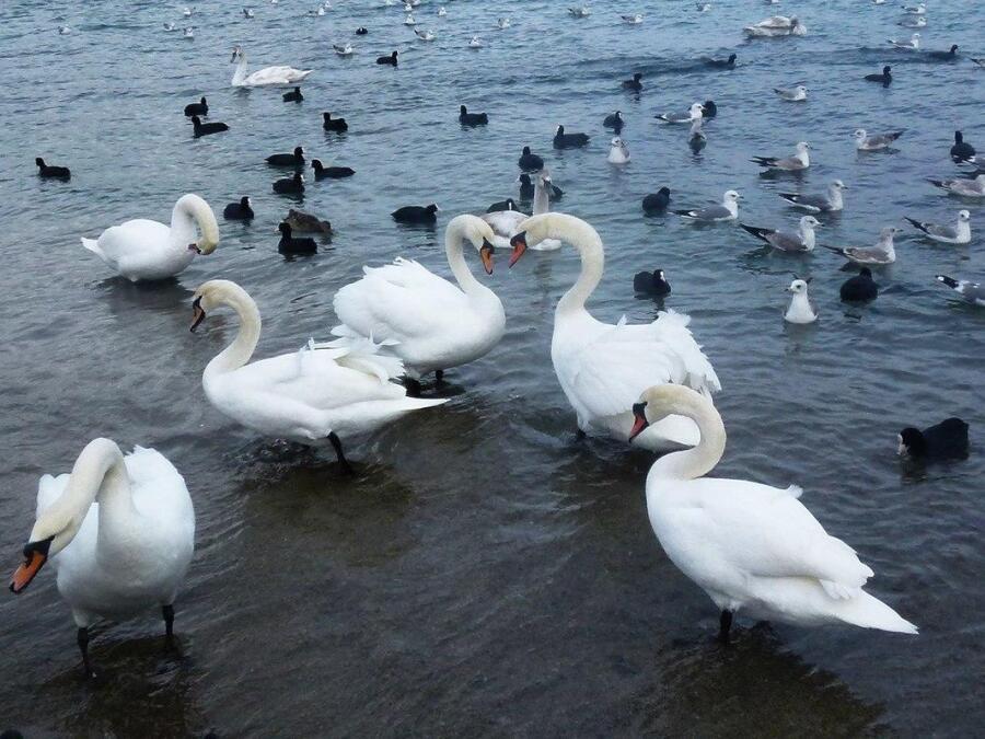 Лебеди на Черном море