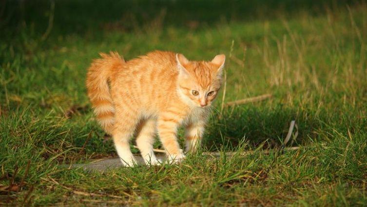 Котёнок кандибобером ходит