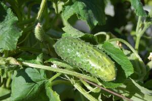Как вырастить огурцы крепкими и здоровыми? Маленькие хитрости